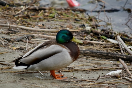 coast, dusk, garbage, waterfowl, feather, wildlife, duck bird, duck, bird, beak