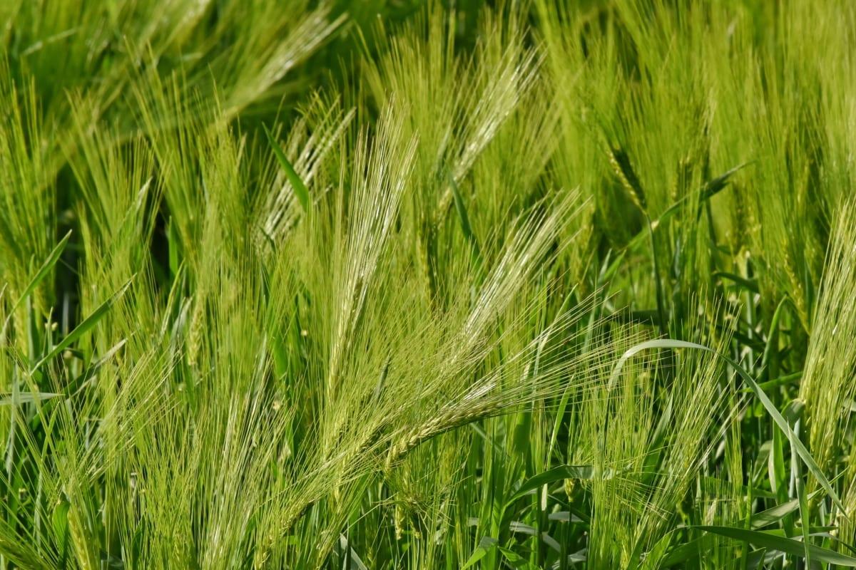 daun hijau, organik, TNI AU, pedesaan, gandum, tanaman, gandum, rumput, bidang, sereal