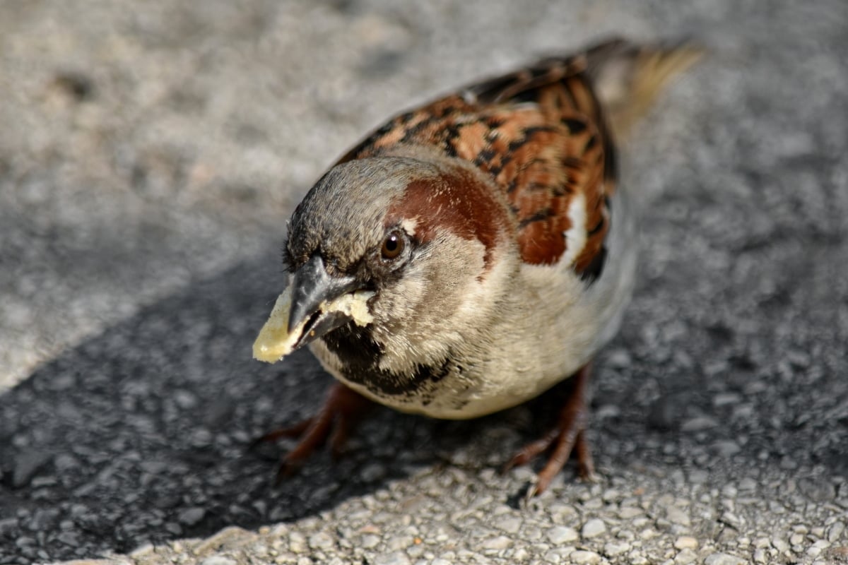 รับประทานอาหาร, หัว, สแปร์โรว์, สัตว์มีกระดูกสันหลัง, ธรรมชาติ, ขนนก, สัตว์, จะงอยปาก, นก, สัตว์ป่า