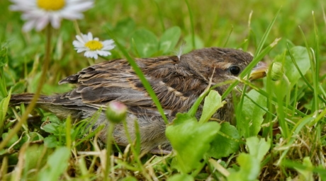 green grass, sparrow, young, nature, nestling, bird, animal, wild, wildlife, grass