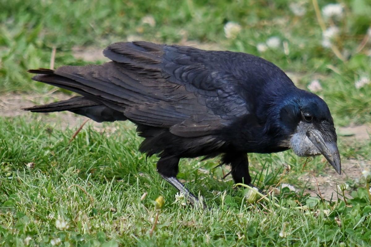 svart, svarttrost, ravn, dyr, fuglen, dyreliv, nebb, vill, natur, fjær