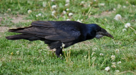 black, green grass, raven, wild, bird, beak, crow, wildlife, animal, nature