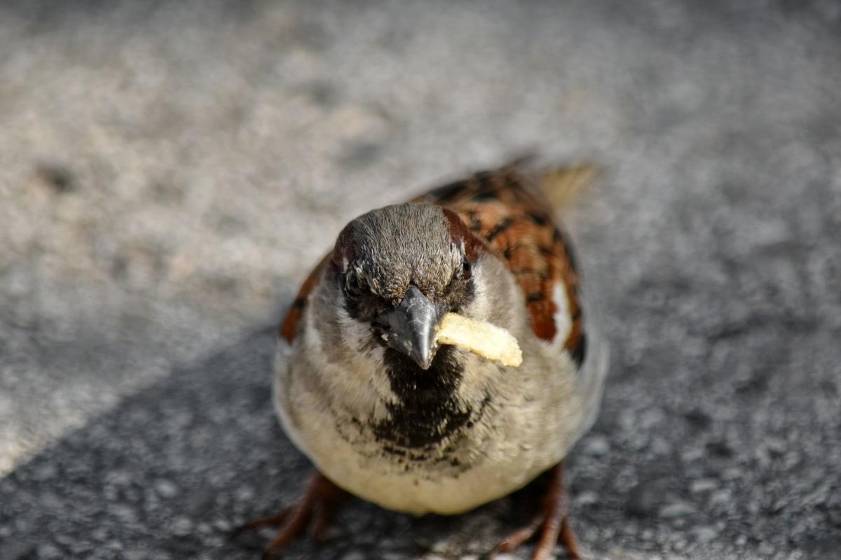 hranjenje, grmuša, biljni i životinjski svijet, pero, životinja, Vrabac, priroda, kralješka, kljun, ptica