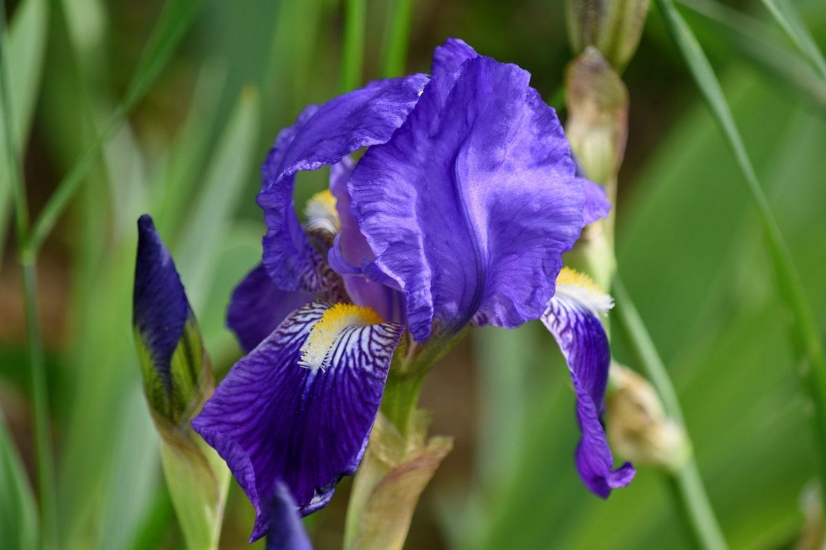 hortikultura, priroda, Iris, proljeće, vrt, latica, cvijet, biljka, flore, ljeto