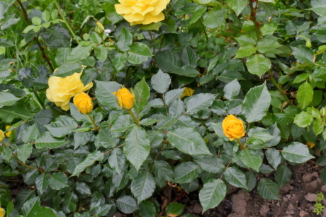 roses, nature, herb, garden, flower, flora, plant, leaf, summer, outdoors