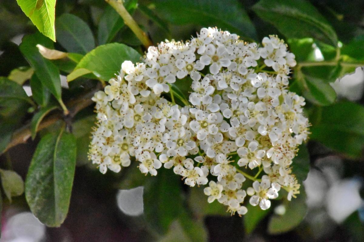 shrub, flower, nature, branch, flora, leaf, herb, tree, plant, garden