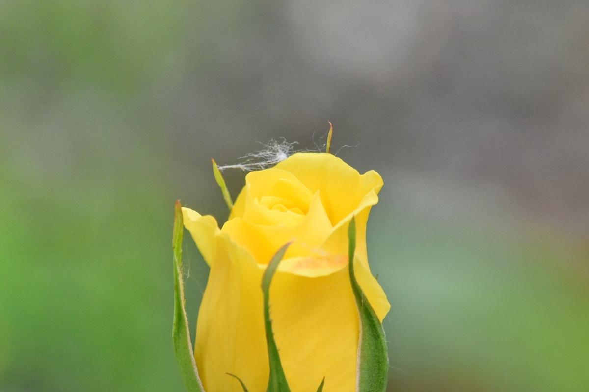 Jaune, fleur, Printemps, plante, pétale, jardin, nature, fleur, bourgeon, feuille