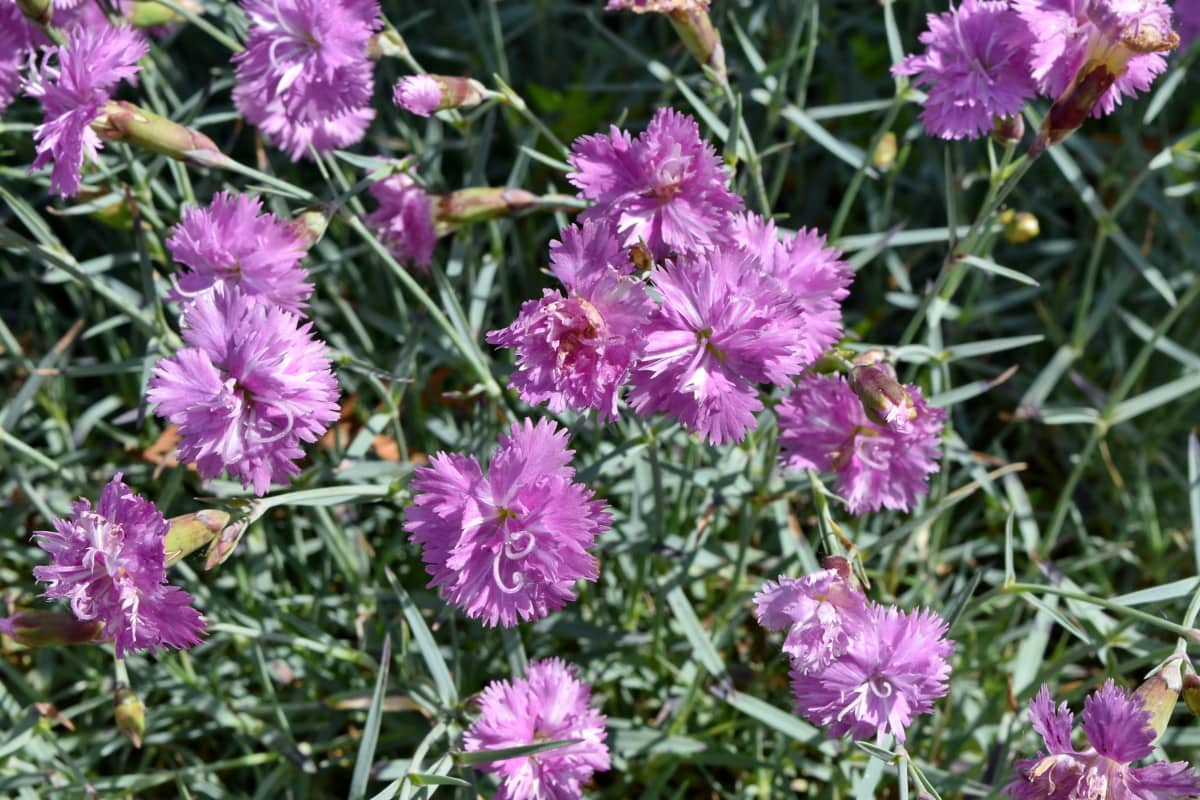 vackra blommor, Nejlika, trädgårdsodling, Anläggningen, blomma, fältet, naturen, trädgård, sommar, flora