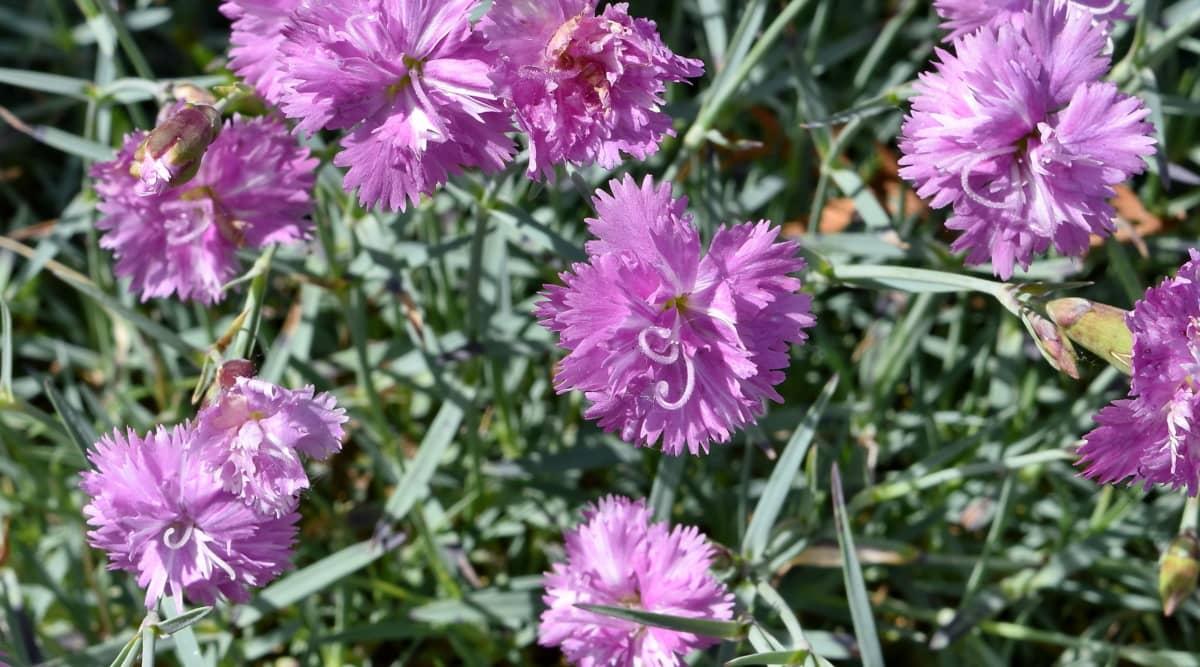 carnation, pinkish, nature, flower, plant, garden, blossom, flora, pink, summer