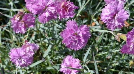 carnation, pinkish, nature, flower, plant, garden, blossom, flora, pink, summer
