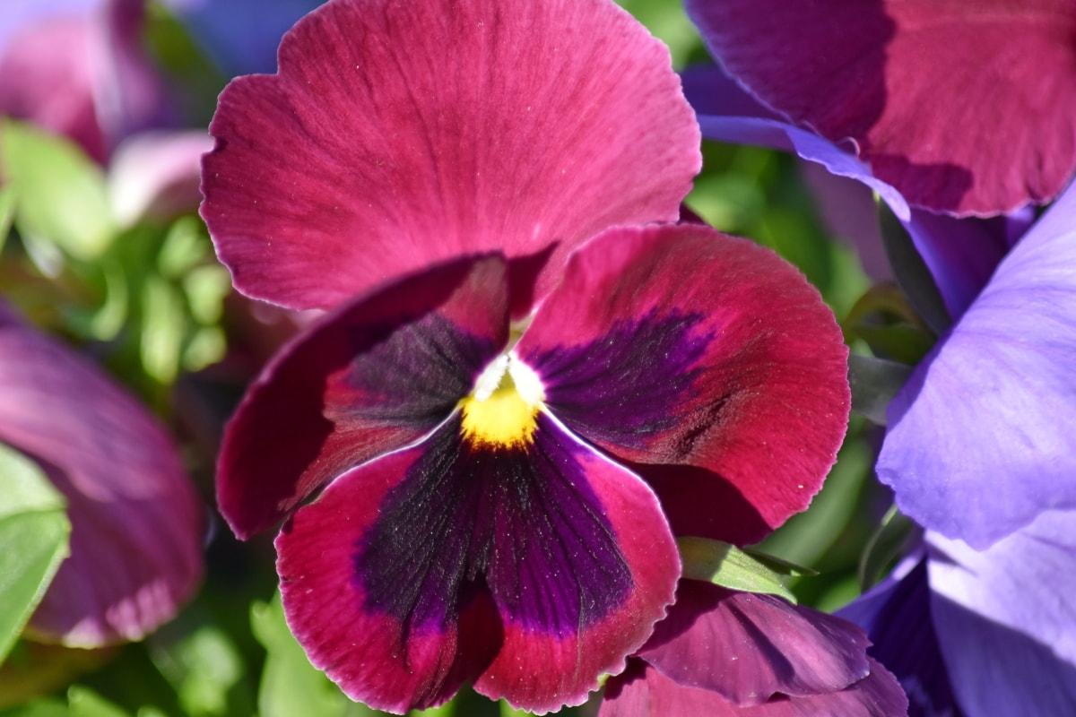 Çiçek Bahçesi, çiçekler, organizma, Üç renkli, ot, çiçeği, çiçek, bitki, viyola, Bahçe