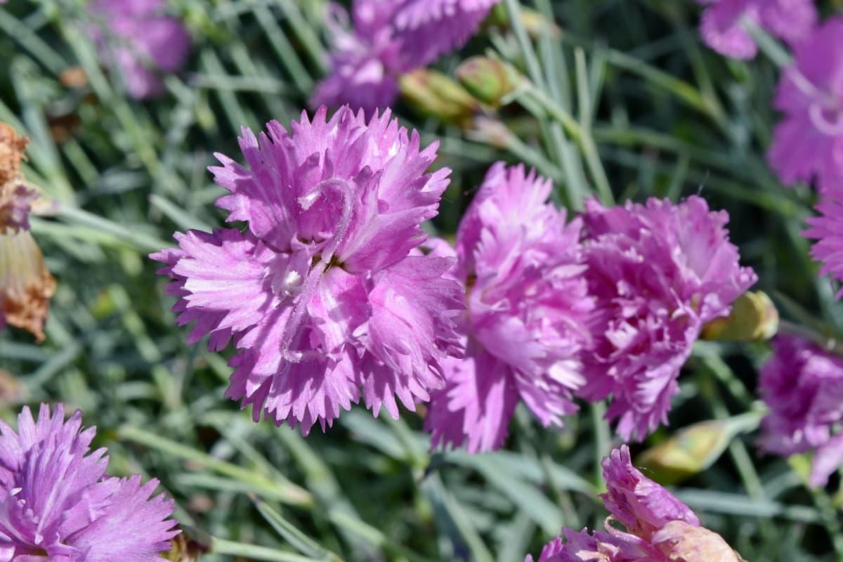 康乃馨, 雌蕊, 春季时间, 夏天, 盛开, 花园, 植物区系, 花, 叶, 性质