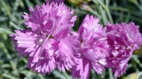 Nellik, våren, blomst, rosa, blomstre, hage, flora, kløver, anlegget, blomst