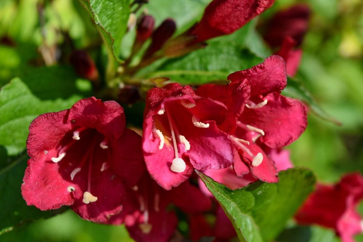 kronblad, trädgård, Anläggningen, flora, blad, blomma, buske, blomma, naturen, sommar