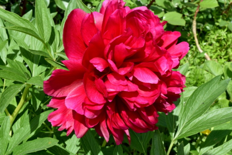 peony, red, flora, flowers, leaf, plant, pink, nature, flower, summer
