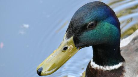 csőr, toll, zöld, fej, Tőkés, kacsa madár, vadon élő állatok, vízimadarak, madár, kacsa