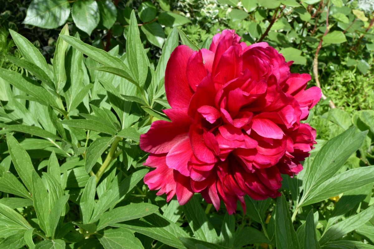 Taman bunga, berbunga, bunga peony, Taman, tanaman, merah muda, kelopak, flora, mekar, bunga