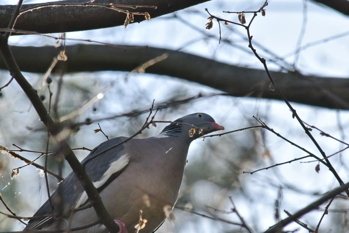 ramas, gris, ornitología, Paloma, flora y fauna, pájaro, invierno, naturaleza, al aire libre, árbol