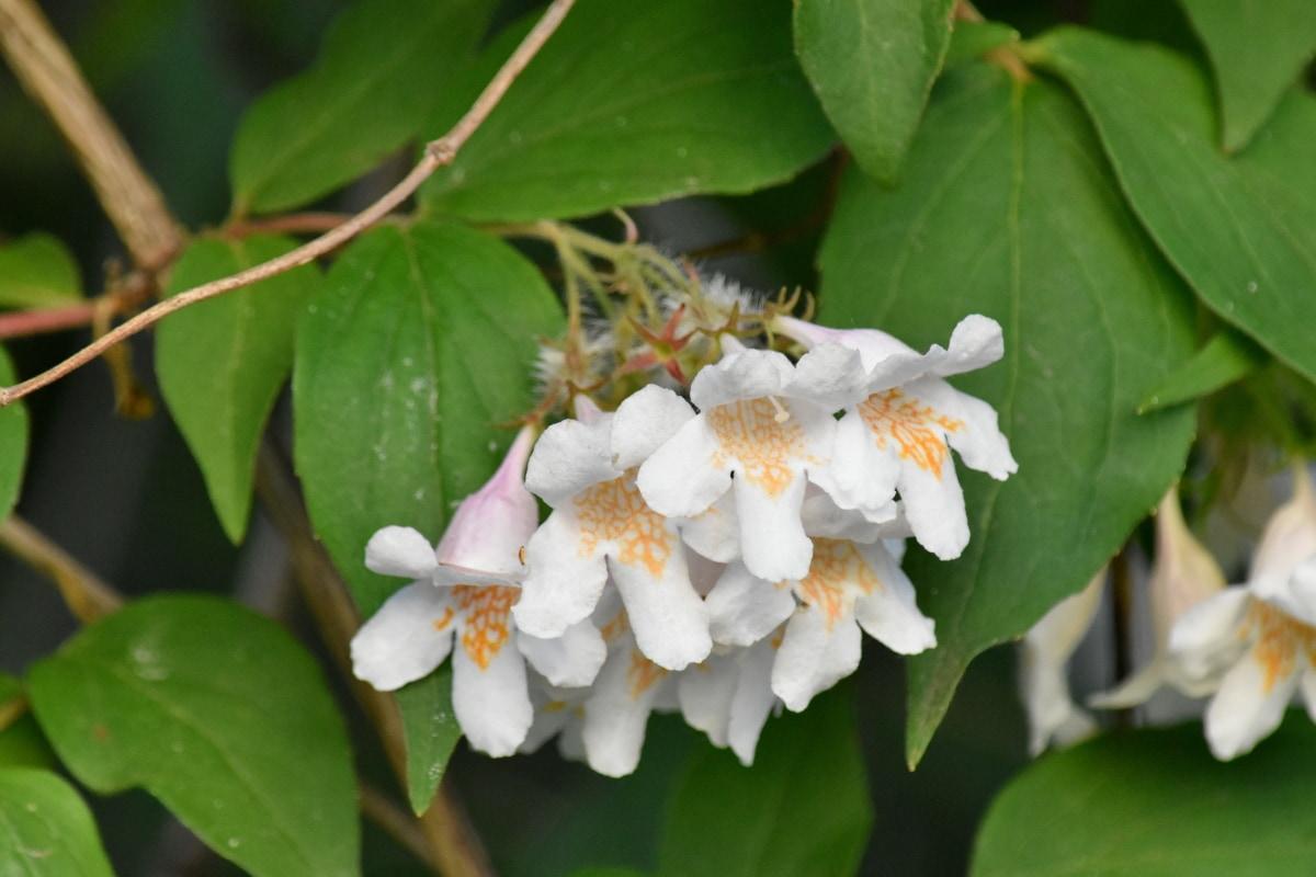 buske, gröna blad, vit blomma, buske, naturen, träd, blomma, Anläggningen, blomma, blad