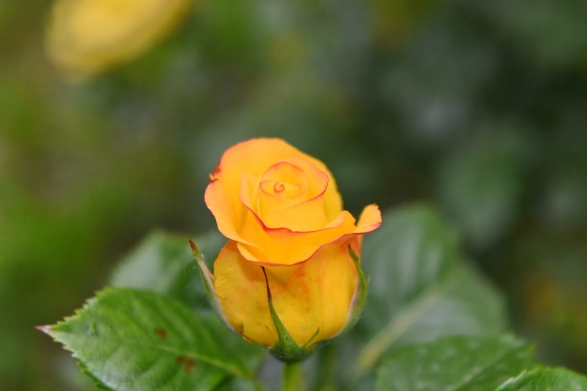 Jaune, belle, belles fleurs, Floraison, Blooming, fleur, brouiller, brillant, bourgeon, bouquet