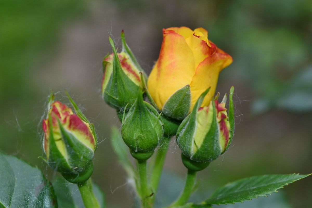 roses, yellow, beautiful flowers, blooming, blossom, bright, bud, color, colorful, daylight