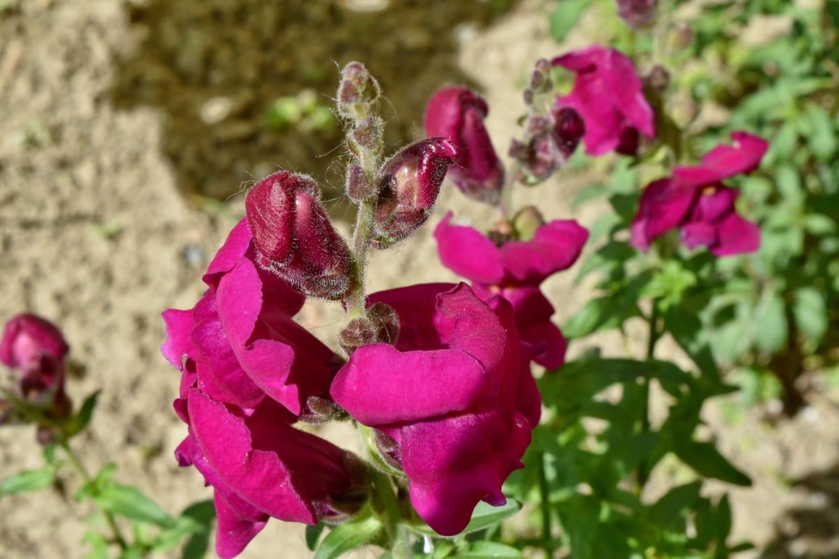 tuinbouw, paars, lentetijd, flora, plant, bloemblad, roze, leeuwenbek, tuin, bloem