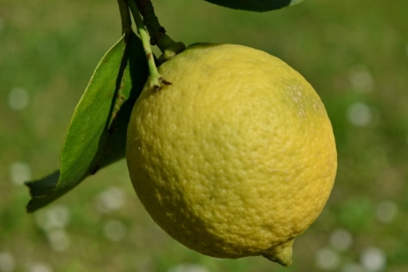 branch, detail, yellow, nature, lemon, food, produce, citrus, fruit, healthy