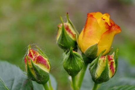 ecology, roses, yellow, beautiful, beautiful flowers, bloom, blooming, blossom, bright, bud