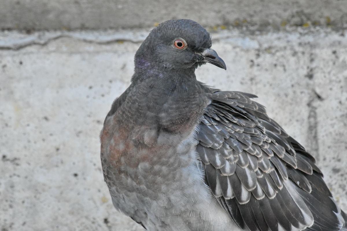 panache, gris, Pigeon, sauvage, oiseau, animal, bec, Colombe, faune, nature