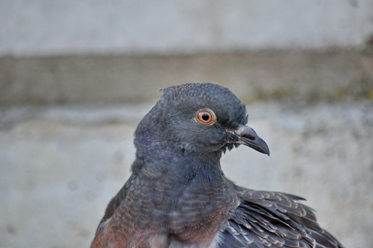 tête, Pigeon, vue de côté, sauvage, oiseau, faune, panache, nature, bec, animal