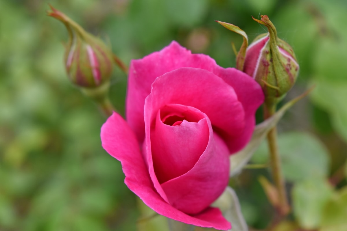 ดอก, สวนดอกไม้, สีชมพู, ดอกกุหลาบ, ลำต้น, สวน, ดอกไม้, ธรรมชาติ, โรงงาน, ฟลอรา