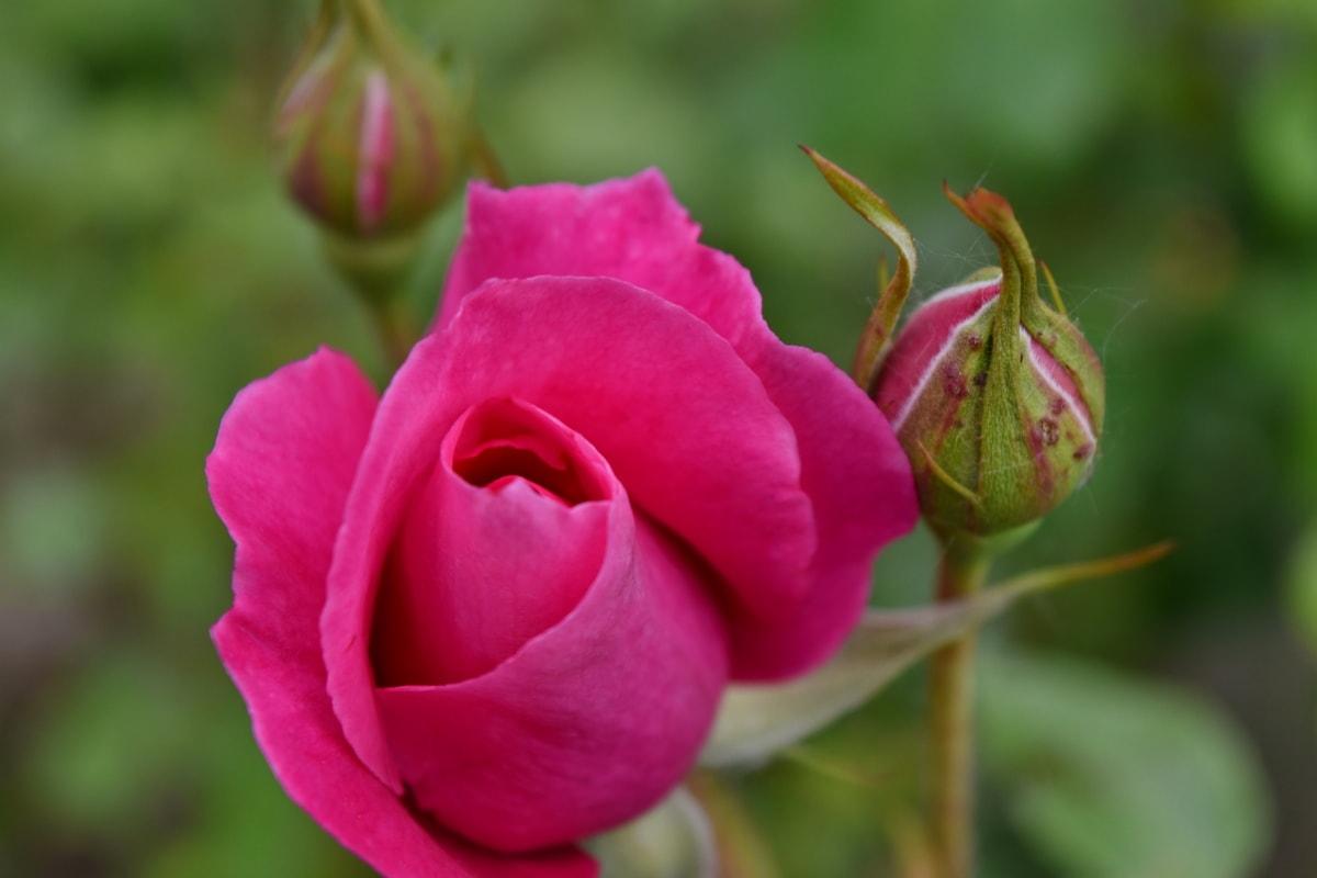 rozen, bloem, steeg, plant, tuin, natuur, knop, bloemblad, bloesem, roze