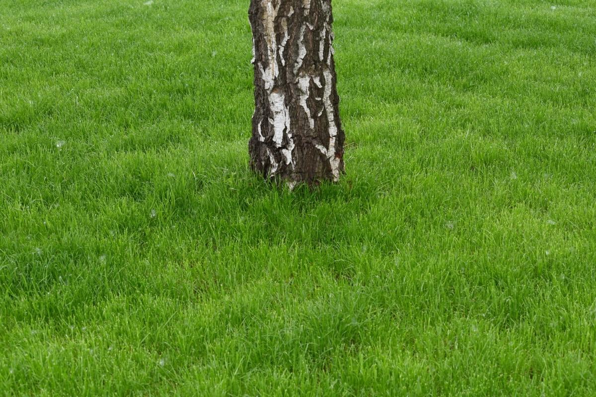 bark, birch, grass plants, lawn, cloak, field, covering, grass, summer, nature