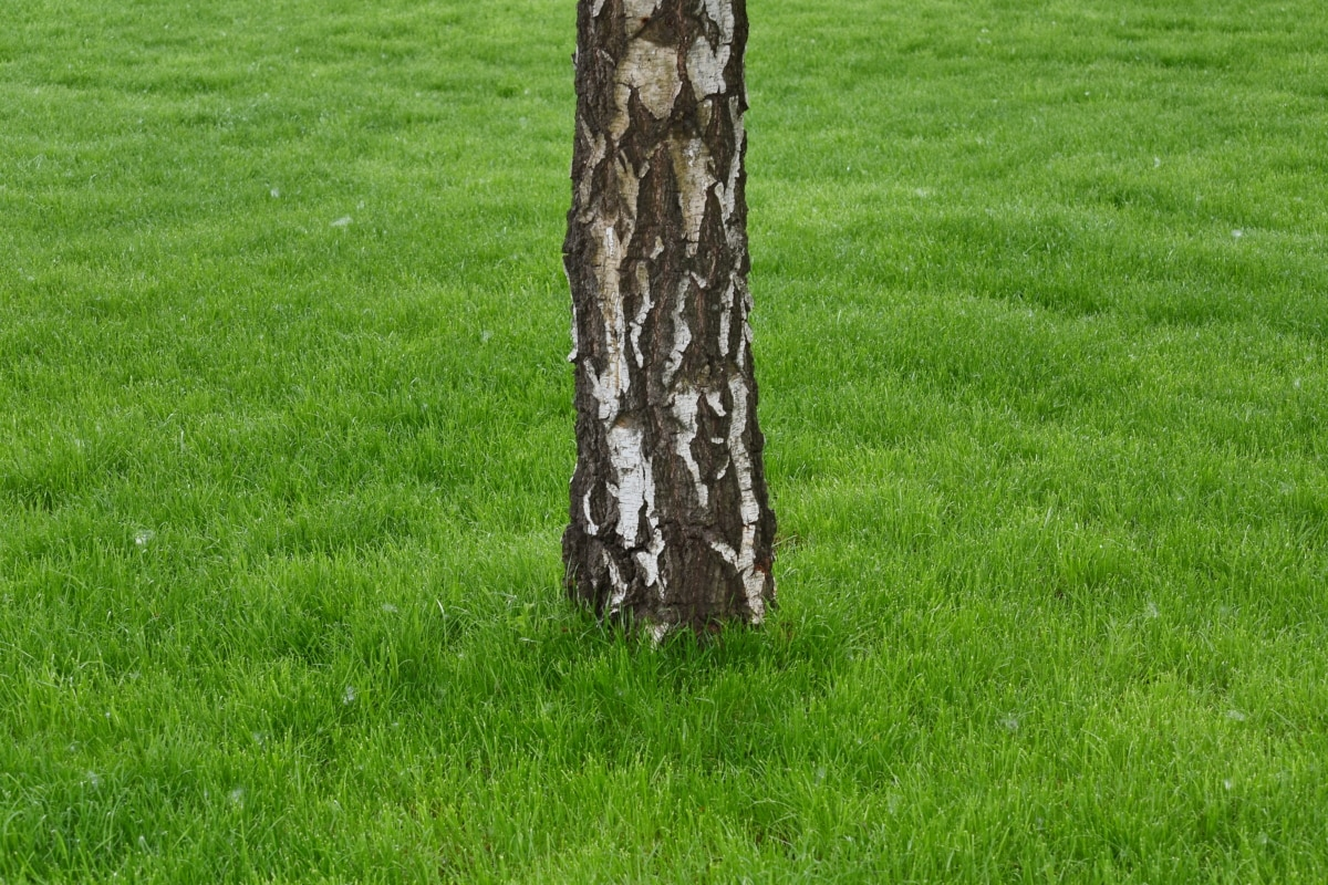 birch, green grass, spring time, tree, grass, lawn, covering, field, nature, summer