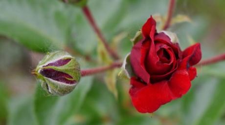 piękne kwiaty, ekologia, czerwonawy, Róża, kwiat, Pączek, Płatek, Natura, flora, liść
