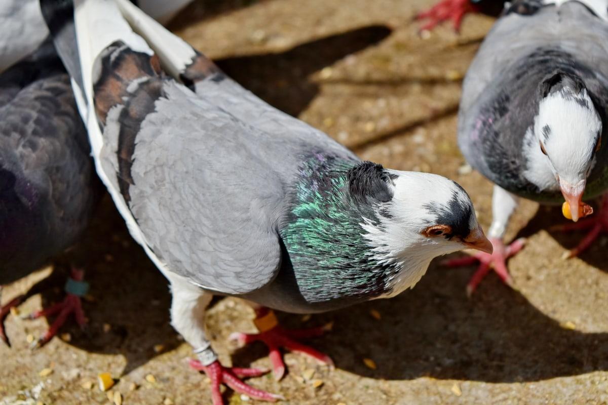 oiseau, famille d'oiseaux, alimentation, Pigeon, bec, faune, nature, panache, Colombe, animal