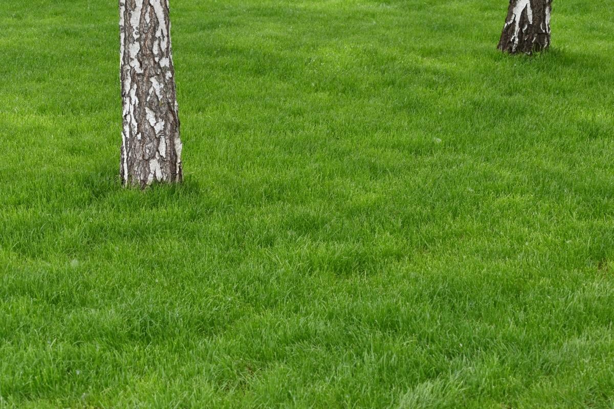 birch, grass, lawn, field, summer, outdoors, landscape, nature, rural, agriculture