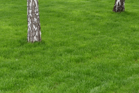 birch, grass, lawn, field, summer, outdoors, landscape, nature, rural, agriculture