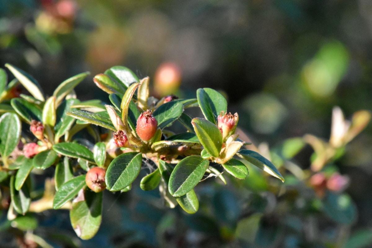 tree, leaf, fruit, plant, nature, branch, shrub, flora, garden, upclose