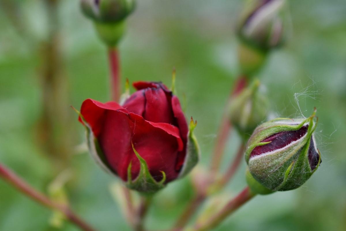 detail, roses, garden, nature, bud, flower, leaf, flora, outdoors, romance
