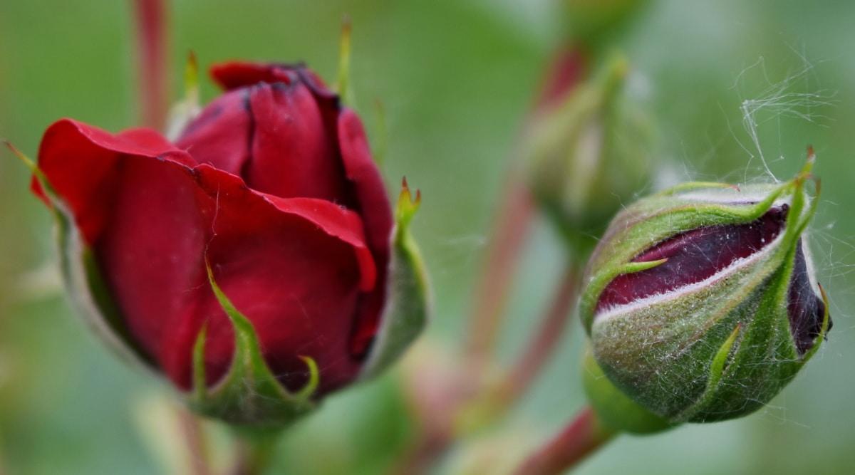 crvenkasto, ruža, priroda, biljka, pupoljak, cvijet, ruža, list, flore, vrt