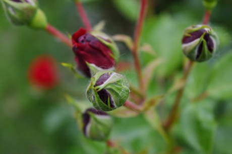 horticulture, red, upclose, leaf, nature, flower, bud, flora, garden, outdoors