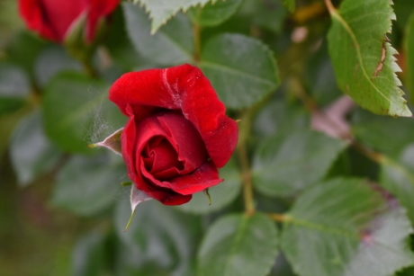 beautiful image, red, shrub, petal, nature, plant, flower, leaf, bud, flora