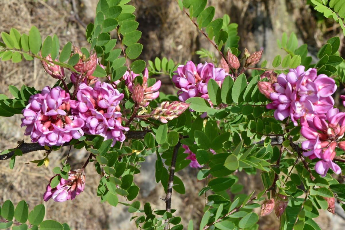 Акація, Екологія, цвітіння, квітучі, квітка, флора, дерево, Весна, завод, природа