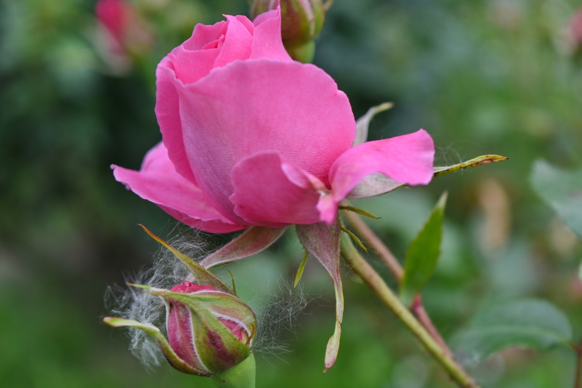 cvjetni vrt, hortikultura, roza, ruža, ruža, biljka, cvijet, cvijet, vrt, flore