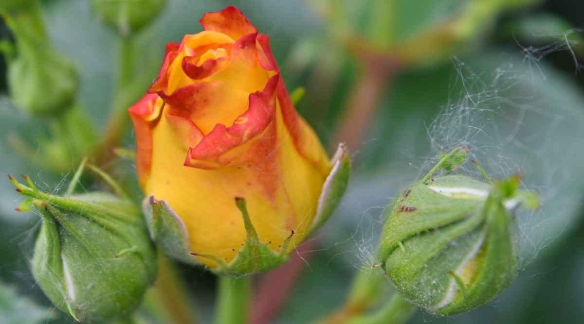 details, roses, yellow, rose, flower, nature, bud, plant, leaf, garden