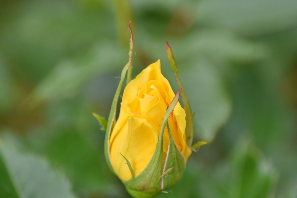 blurry, green leaf, yellow, garden, bud, petal, blossom, flower, plant, leaf