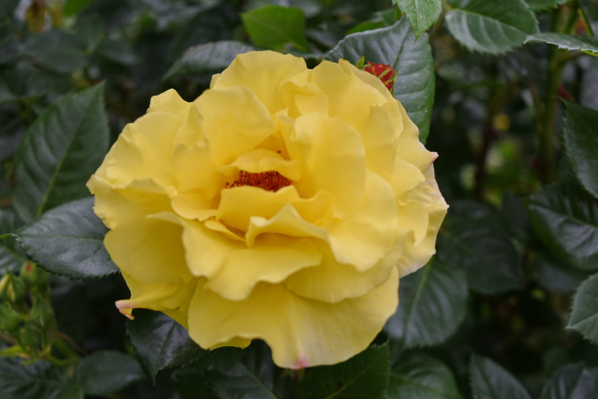 green leaf, roses, yellow, flower, petal, nature, rose, leaf, shrub, plant