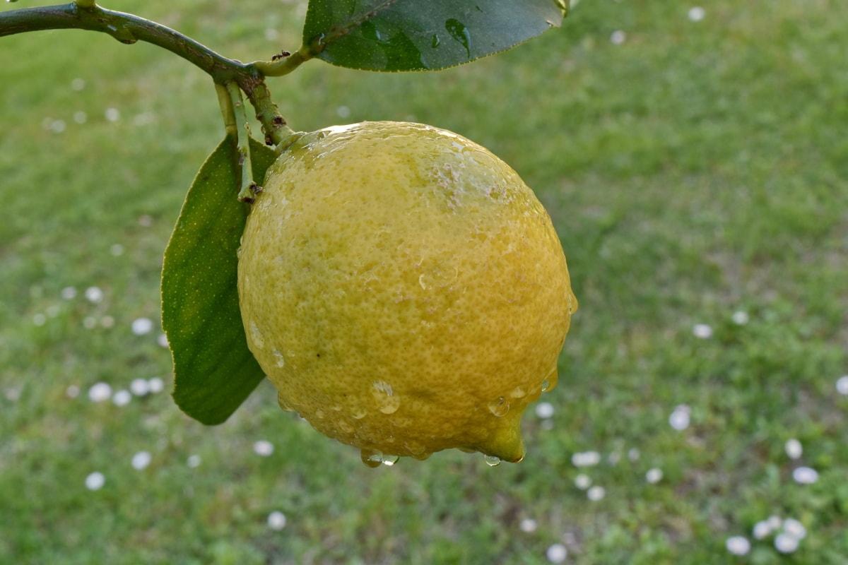 orchard, citrus, food, healthy, yellow, lemon, produce, fruit, leaf, nature