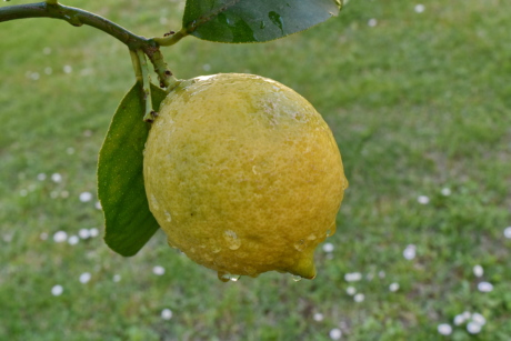 orchard, citrus, food, healthy, yellow, lemon, produce, fruit, leaf, nature